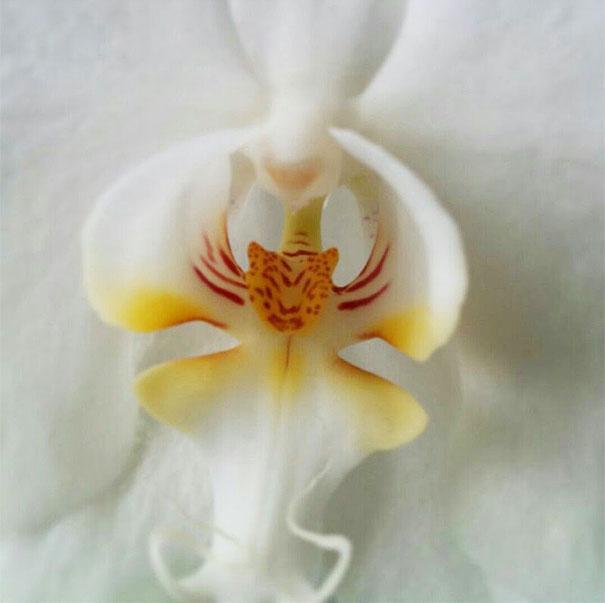 orchid-tiger-image.jpg