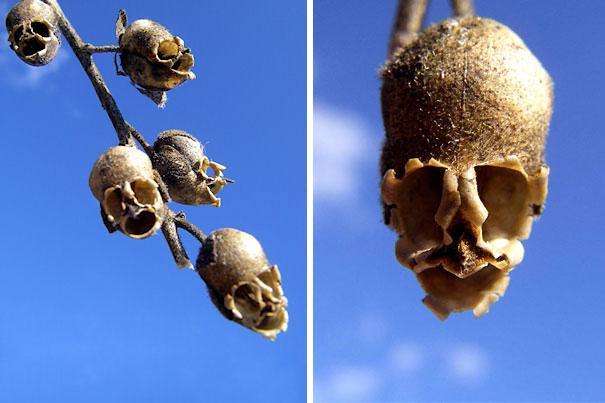 snap-dragon-seed-pod.jpg
