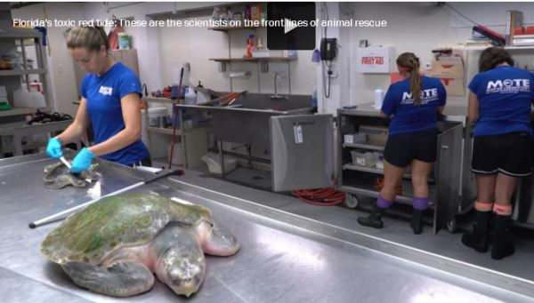 Florida's toxic red tide--scientists on the front lines of animal rescue_video